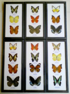 Collection of Exotic Butterflies, various sizes – 32 x 13.5cm and 25 x 13.5cm  (6)