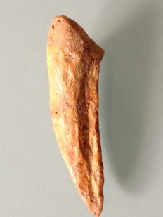Rare original dinosaur claw of a Dromaeosaurus - 60 x 15 mm