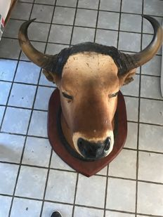 Taxidermy - vintage Ox head - Bos taurus - 75 x 55cm