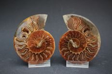 Fossil opalised Ammonite halves, with stand - Cleoniceras sp. - 9.8 x 8.0 cm - 224 g