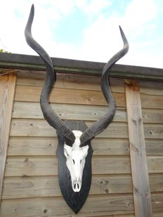 Extra large Greater Kudu skull on shield - Tragelaphus strepsiceros - 75 x 135 x 30cm