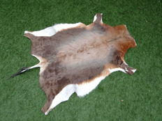 Freshly prepared Blesbok hide - Damaliscus pygargus phillipsi - 85 x 120cm
