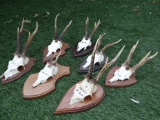 Collection of antique Roebuck trophies on shields - Capreolus capreolus - 25 x 15cm  (7)