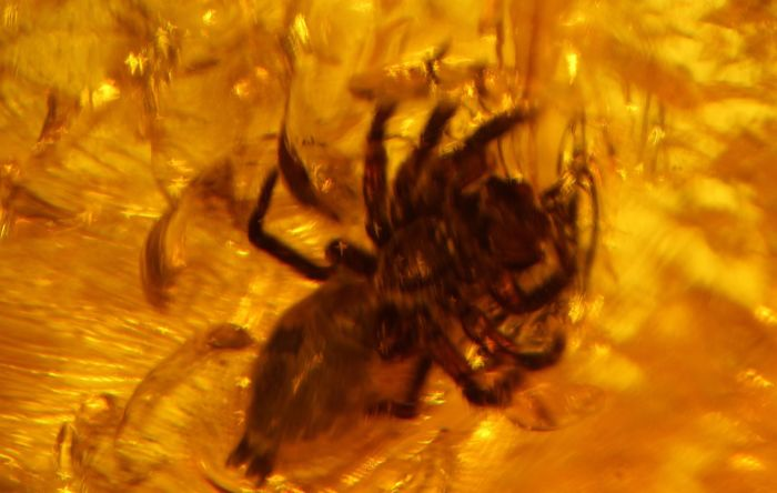 Huge piece of Baltic amber with jumping spider Salticidae inclusion - 65 x 25 x 18 mm - 16.5 g