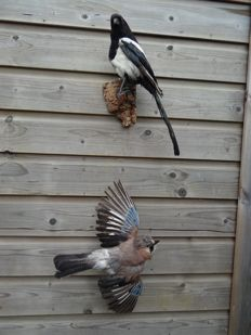 Vintage taxidermy - Magpie, with Jay in flight, wall-mounted - Pica pica and Garrulus glandarius - 45 x 30 x 20cm and 45 x 20 x 15cm  (2)