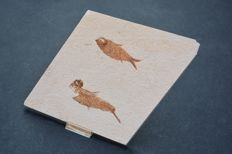 Fine Fossil Fishes - Knightia - 17.5 x 17.5 cm