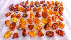 Lot of polished Old Cognac - ruby colour Baltic Amber pendants with ca. 4 mm diameter hole.- 270 gm (60)