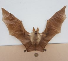 Taxidermy - extra large, Diadem Leaf-nosed Bat - Hipposideros diadema - 35 x 30cm