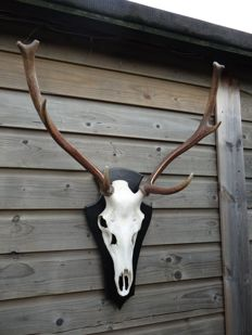 Taxidermy - Red Deer Trophy, 8-pointer, on part skull, with carved wall-shield - Cervus elaphus - 65 x 85cm