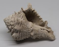 Large size fossil shell Hystrivasum horridum - 11.7 cm - 0.190 kg - Top quality