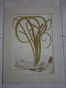Unknown - 2 hand-coloured plant engravings