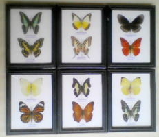 Exotic Butterfly sets - various species, with names - 17.5 x 13.5cm  (6)