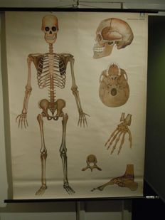 Vintage school poster of the human skeleton, Homo Sapiens, Arrhenius Verlag