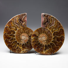 Pair of polished ammonite halves - Aioloceras sp. - 7,6 x 5,8 cm - 107 g