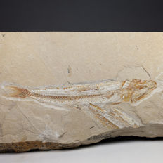 Classical Lebanese fish with a second partial one - Prionolepis cataphractus - 26,5 x 14 cm (specimen 17,5 cm)