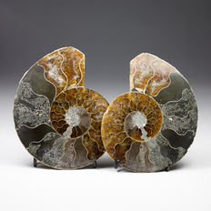 Pair of polished ammonite halves - Aioloceras sp. - 7,1 x 5,5 cm - 81 g