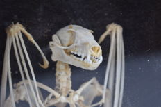 Articulated Lesser Short-nosed Fruit Bat, in fine natural wood 3-D display case - Cynopterus brachyotis - 21 x 31cm