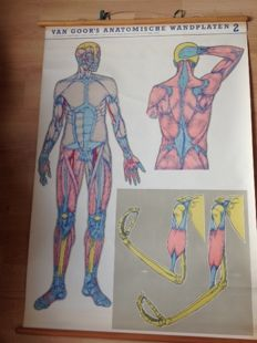 "Old anatomical school poster ""muscular system"""