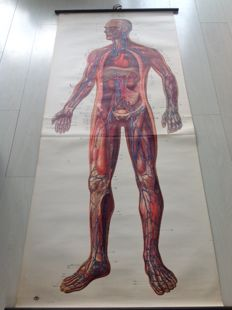 "Old anatomical poster - ""Heart & blood vessels"""