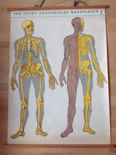 "Old anatomical school poster ""Skeleton & nervous system"""
