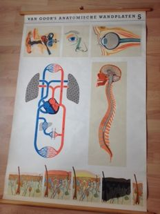 "Old anatomical school poster ""Brains - spinal cord - blood circulation - eye - ear - skin"""