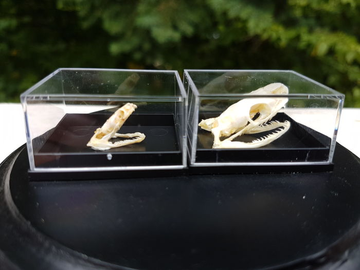 Fine set of Snake Skulls - Trinket Snake and Reuss' Water Snake - Coelognathus radius and Enhydris alternans - 4 x 3cm  (2)