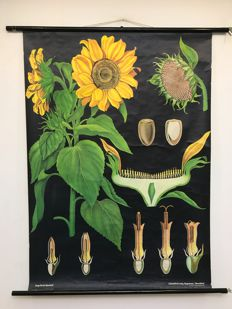 School poster Jung Koch Quentell sunflower