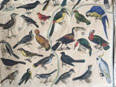 Large antique school poster by Wand Bilder Atlas Birds around 1880
