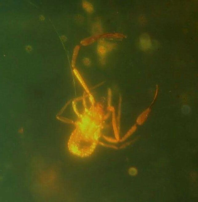 Burmite Amber with Chelifer cancroides  4 mm