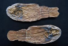 Fossil coelacanth with fin bone preservation - Whiteia woodwardi - 135 mm
