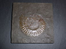 Ammonite in shale - Hildoceras sp. - 122 x 120 x 15 mm - 418.6 g
