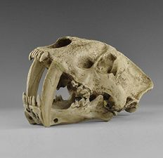 Fine quality Sabre-toothed Tiger replica skull - Smilodon - 35 x 20 x 18cm