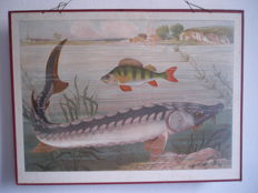 School poster / School card Sturgeon with bass, rare cardboard card from 1878-1906, lithograph print