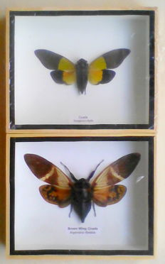 Entomology Display Cases - Cicadas -  Trengganua and Angamiana sp - 15 x 12.5cm  (2)