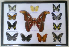 Exotic Butterfly display including Atlas Moth - 48 x 32cm