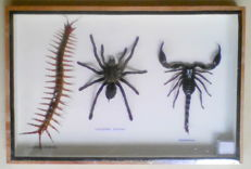 "Classic 3-specimen ""Poison Set"" - Scorpion, Tarantula and Centipede - 30 x 20cm"