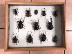 Fine, cased Beetle collection - Five-horned, Rhinoceros and Goliath Beetles - various species - 40 x 50 cm