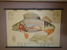 Old Anatomy school poster / school board on linen of the Perch, from the series vertebrae animals.