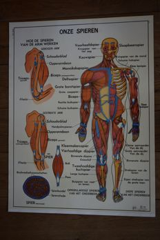 The Human Body & Our Muscles