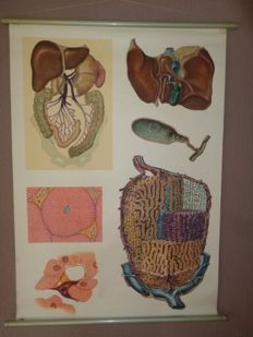 "Old anatomical school poster of ""The Liver"""