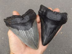 Fossil shark teeth  - Carcharodon Megalodon - 9.8 and 9 cm (2)
