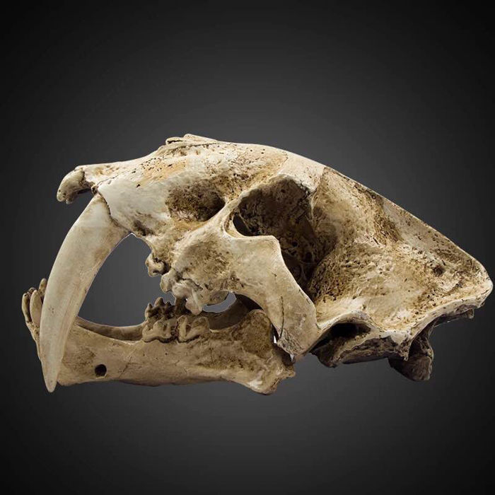 Fine life-size replica Sabre-toothed Tiger skull - Smilodon - 35 x 20 x 18.5cm - 3kg