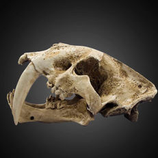 Fine life-size replica Sabre-toothed tiger skull - Smilodon - 35 x 20 x 18.5 cm - 3 kg