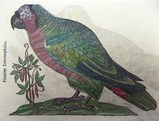 Conrad Gesner (1516-1565) - One leaf with 2 large ornithological woodcuts - Birds: Parrot, Psittacus - 1669