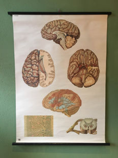 School poster of the Brain