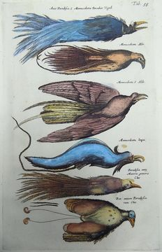 Matthäus Merian ( 1621 –1687) - hand colored copper engraving - Birds of Paradise - 1657