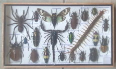 "Entomology collector's box with 21 different species, including a ""Poison Set"", 35 x 20cm"
