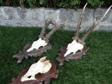 Roebuck Trophies on Black Forest hand-carved shields - Capreolus capreolus - 14 to 23cm  (3)