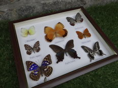 Collection of various Asian Butterflies - 28 x 33cm