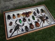 Interesting Display Case filled with Exotic Insects - 35 x 20cm